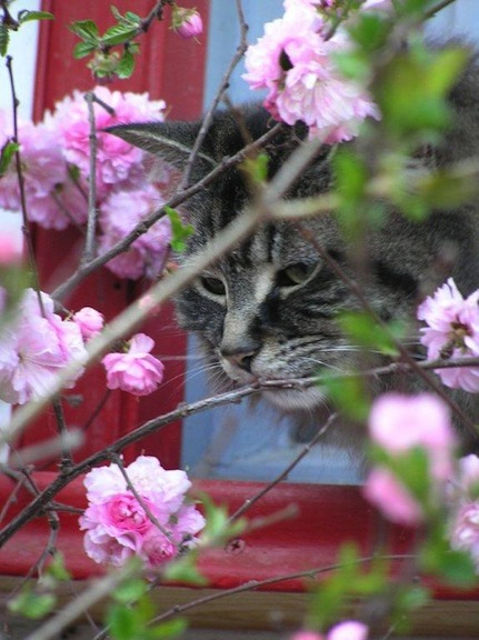 Pretty Prissy and the flowering plum.